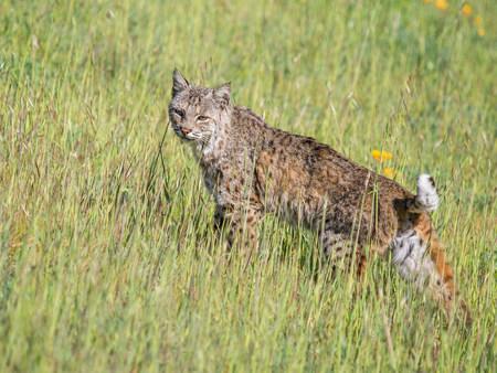 the lynx: Bobcat,Lynx rufus californicus,Felis rufus