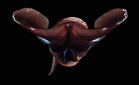 arctic waters: Limacina helicina sea snail