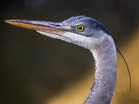 herodias: Great blue heron,Ardea herodias