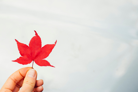 Woman holding red Japanese Maple leaf (Acer palmatum), close-up LANG_EVOIMAGES