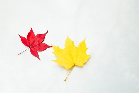 Japanese Maple leaf (Acer palmatum) and maple leaf (acer) on white surface, close-up
