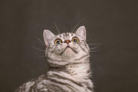 Studio portrait of Scottish Fold kitten LANG_EVOIMAGES