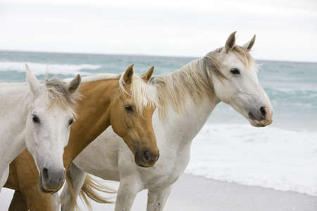 Horses on the beach LANG_EVOIMAGES