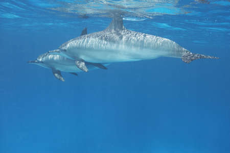 hearted: Pair of Spinner Dolphins