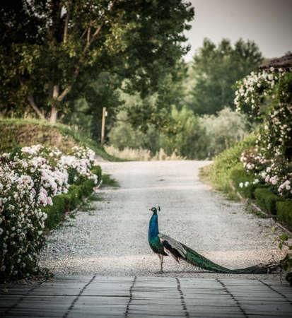 egglayer: Peacock walking on road in park LANG_EVOIMAGES