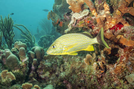 Striped fish swimming at underwater reef