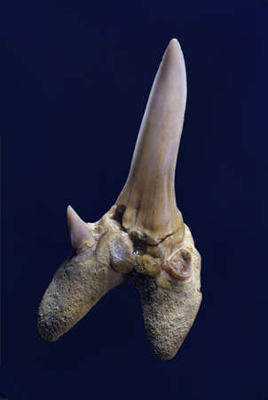 survives: Close up of animal tooth