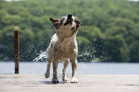 Dog shaking water off fur on dock