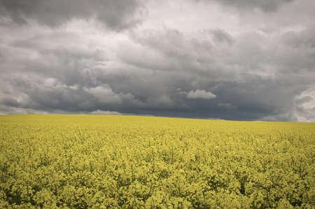 Field of rape flowers under dramatic sky