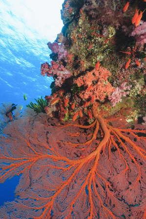 gorgonian sea fan: Sea fan growing on coral reef