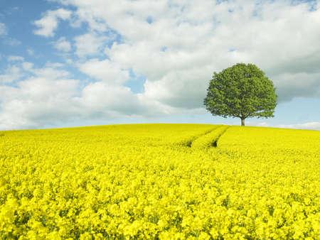 Rapeseed fields in rural landscape