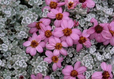 Flowers,Baltoro Glaciers,Paksitan LANG_EVOIMAGES