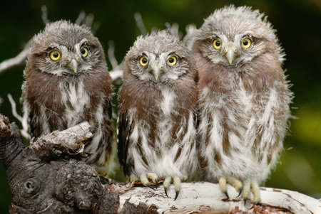 Ferruginous pygmy owlets perched on a tree branch,Patagonia,Argentina