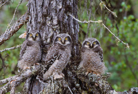 Hawk owls,Yellowknife region,Northwest Territories,Canada