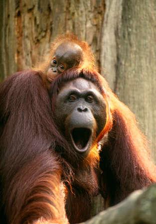 Bornean orangutan with infant,Tanjung Puting National Park,Borneo,Indonesia