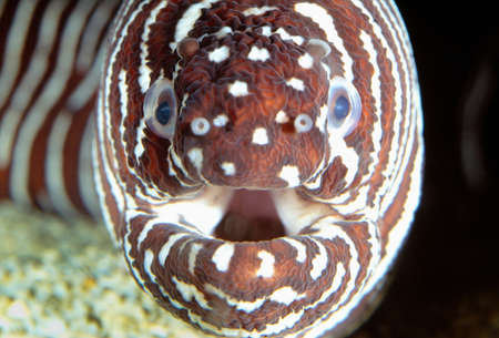 Zebra moray eel,Pacific Ocean