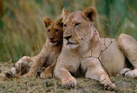African lion,Masai Mara National Reserve,Kenya