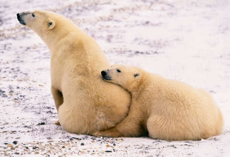 Polar bear and second year cub,Churchill,Manitoba,Canada