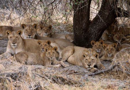 shadowed: African lions,Okavango Delta,Botswana