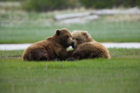 Brown bears,Katmai National Park,Alaska
