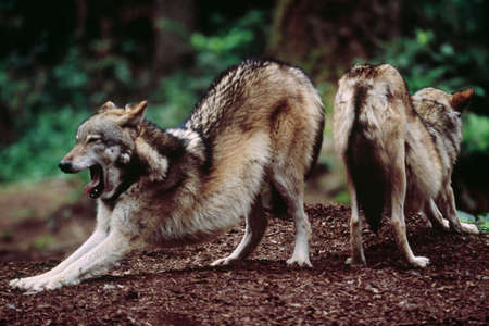 Grey wolves,Vancouver Island,British Columbia,Canada LANG_EVOIMAGES
