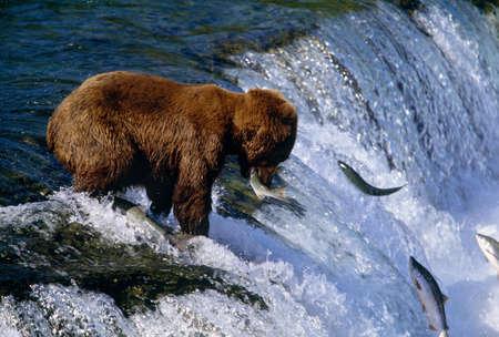 Brown bear catching salmon at Brooks Falls,Katmai National Park,Alaska LANG_EVOIMAGES
