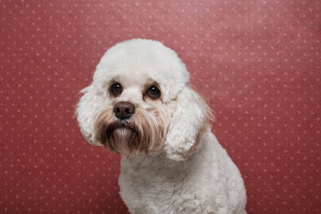 pooches: Portrait of a poodle LANG_EVOIMAGES