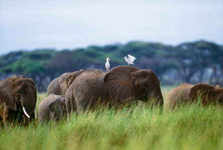 African elephants and cattle egrets,Amboseli National Park,Kenya