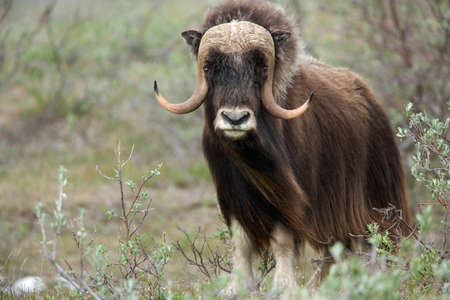 Alaska muskoxen LANG_EVOIMAGES