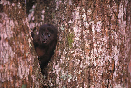 browns: Black Howler Monkey,Islas Bocas del Toro,Panama
