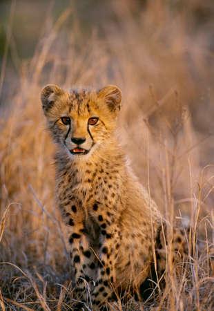 cheetah cub: Cheetah cub,Masai Mara National Reserve,Kenya LANG_EVOIMAGES