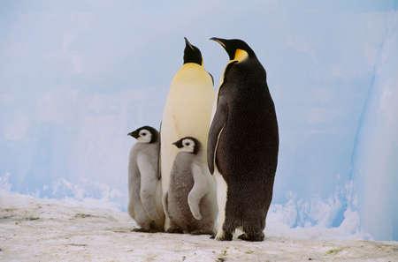 Emperor penguins and chick,Antarctica
