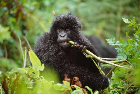 Mountain gorilla juvenile,Volcanoes National Park,Rwanda LANG_EVOIMAGES