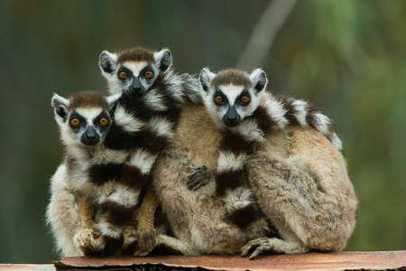 embraced: Ring-tailed lemurs,Madagascar