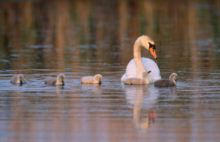 Mute swan with cygnets,Delaware Bay,New Jersey LANG_EVOIMAGES