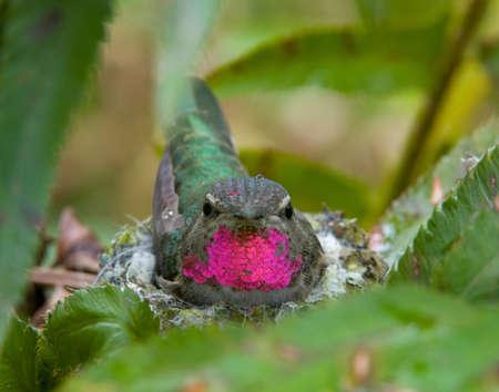 Rufous colibrí nidos en espada helecho, Schmitz Preserve Park, Seattle, Washington LANG_EVOIMAGES