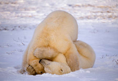 Polar bears,Churchill,Manitoba,Canada
