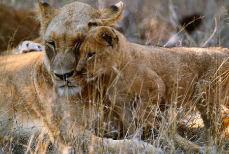African Lion and cub,Kruger National Park,South Africa