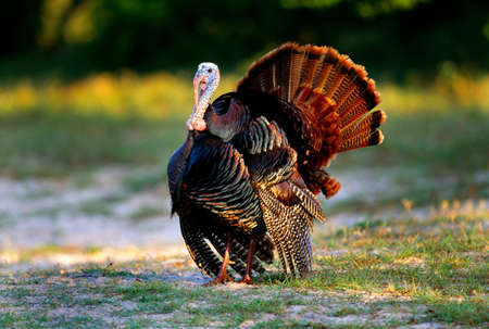Wild turkey,Cumberland Island National Seashore,Georgia