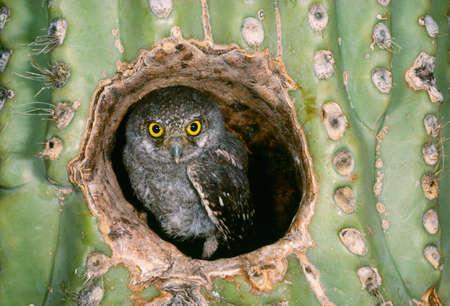 Elf owlet in Saguaro Cactus,Arizona