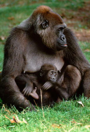 Lowland gorilla and baby,West Africa LANG_EVOIMAGES