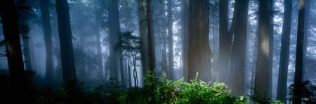 Fog,Redwood trees,California LANG_EVOIMAGES