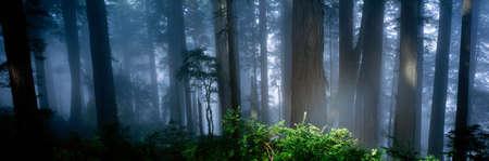 plants species: Nebbia, Alberi di Redwood, California