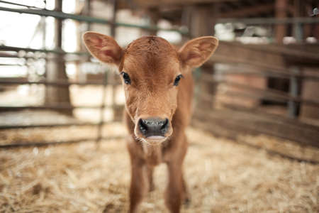 Calf in a barn LANG_EVOIMAGES