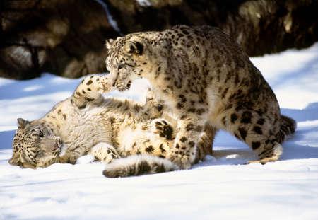 Snow leopards LANG_EVOIMAGES