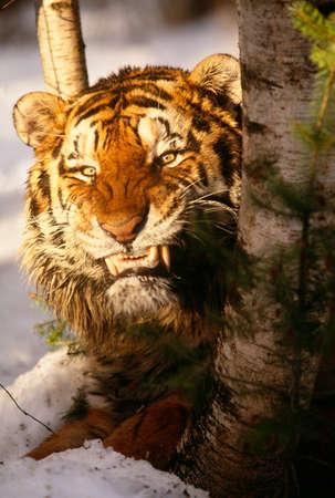 enraged: Bengal tiger,India