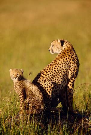 Cheetah and cub,Masai Mara National Reserve,Kenya LANG_EVOIMAGES