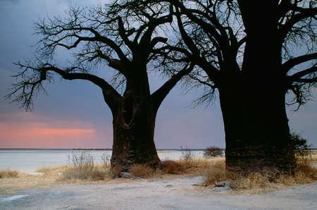 Baobob,Nxai Pan National Park,Botswana