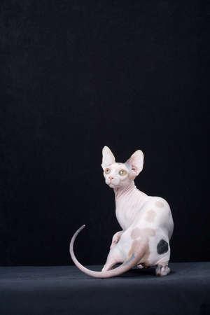 impressed: Hairless cat portrait LANG_EVOIMAGES