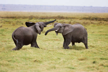 African elephants sparring,Amboseli National Park,Kenya